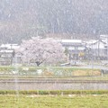 写真: 桜を追いかけたら雪が降りました