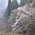 写真: 山桜の美