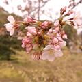 Photos: 桜鞠 風にゆらされ