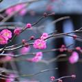 写真: 紅梅@御霊神社