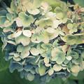 枯れ紫陽花1