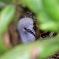 オナガミズナギドリの雛1