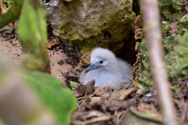 オナガミズナギドリの雛2