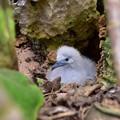 写真: オナガミズナギドリの雛2