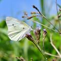 Photos: 白い妖精