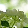 Photos: 白紫陽花