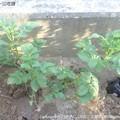 Photos: 2014‐06-23収穫 (3)
