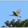 写真: メジロの飛翔 No.2