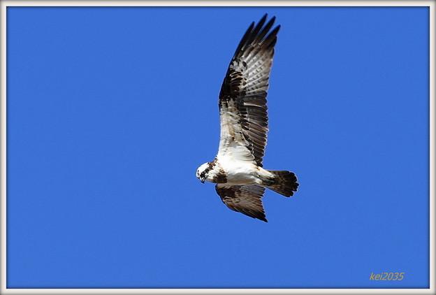 写真: ミサゴの飛翔