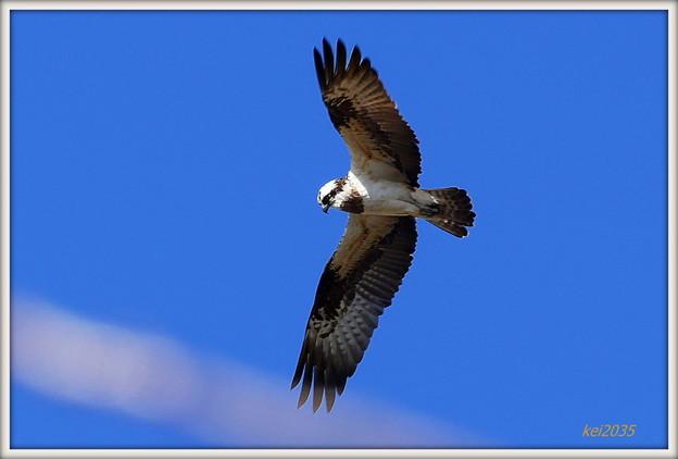 Photos: ミサゴの飛翔