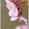 写真: 阿部池の河津桜
