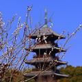 写真: ネコヤナギ&五重塔