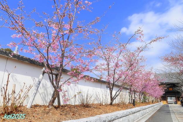 妙林寺の河津桜