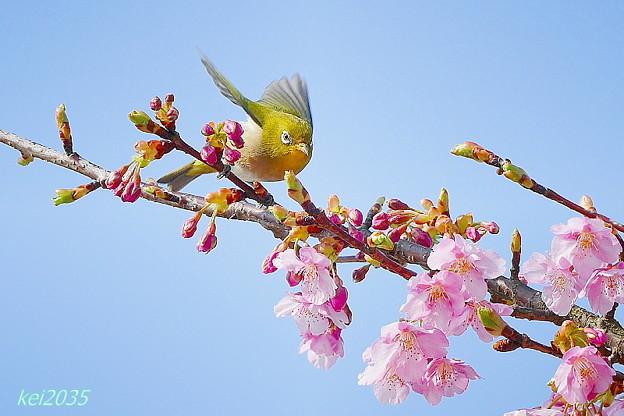 メジロ&河津桜