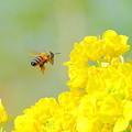 蜜蜂&菜の花