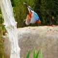 写真: カワセミのダイブNO.6