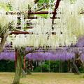 写真: 和気・藤公園