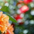 写真: 日笠バラ園 NO.3