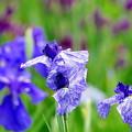 写真: 住心院の花菖蒲