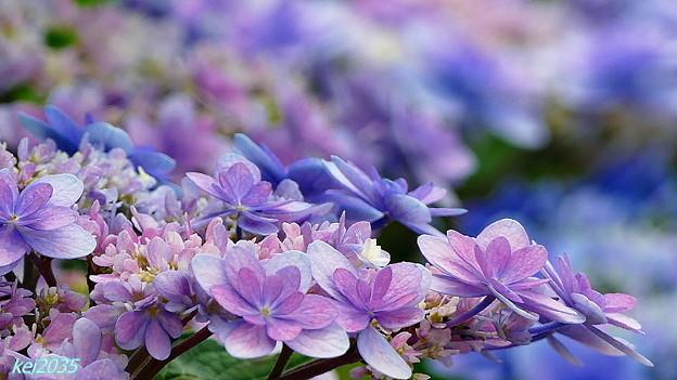 写真: 紫陽花・色々