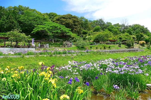 写真: 住心院の菖蒲園