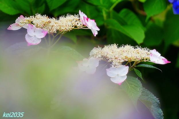 大滝山の紫陽花