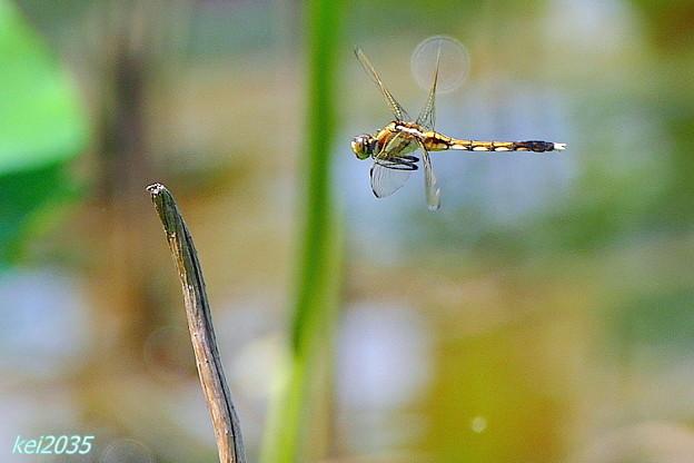 蜻蛉の飛翔NO.1