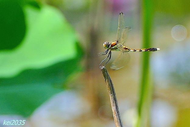 蜻蛉の飛翔NO.4