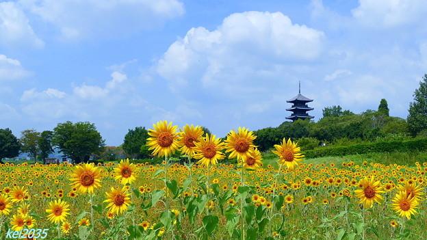 写真: ヒマワリ&五重塔
