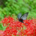 蝶と彼岸花