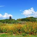 写真: コスモス&五重塔