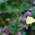 写真: キチョウの舞