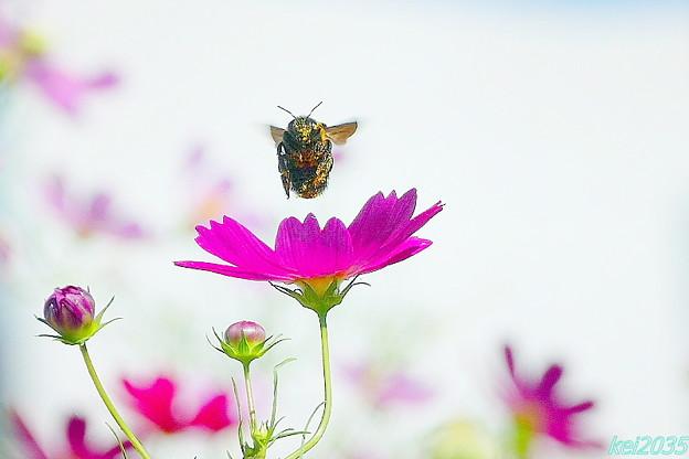 写真: コスモス&蜂