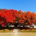 写真: 旧閑谷学校の楷の木 No.4