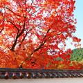 旧閑谷学校の楷の木
