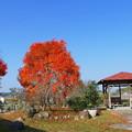 吉備路の楷の木