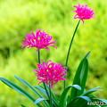 我が家の庭に咲くリコリス