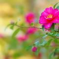 我が家の庭に咲く山茶花
