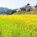 菜の花のある風景