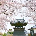 岡山上寺の桜