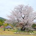 尾所の桜 (1)