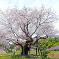 尾所の桜 (2)