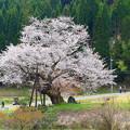 尾所の桜 (4)