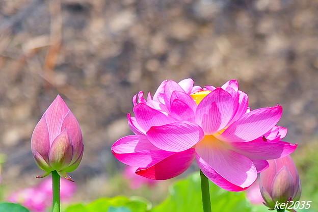 久米南「花はす公園」NO.12
