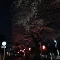 写真: 新川桜並木