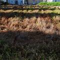 写真: 麦畑は今