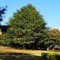 写真: 明保野公園の大木 (1)