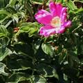 ハマナス(花)