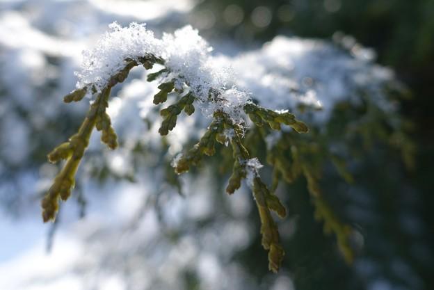 雪をかぶって