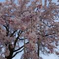 写真: 枝垂れシャワー